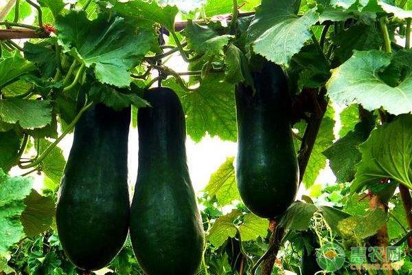 黑皮冬瓜高产种植技术