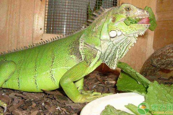 绿鬣蜥蜴价格