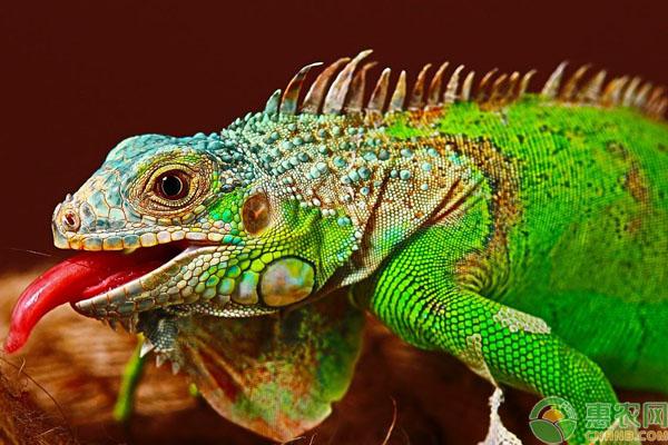 绿鬣蜥蜴选购方法