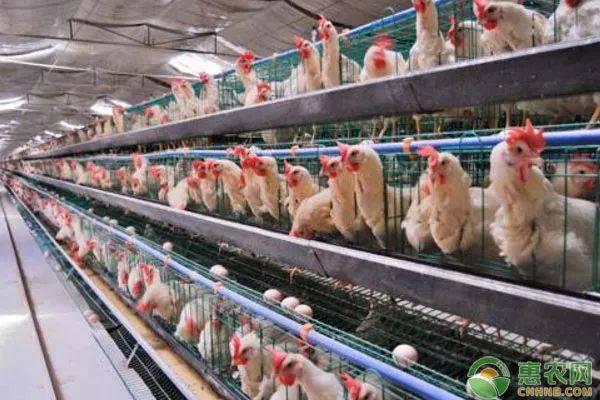 秋季蛋鸡管理