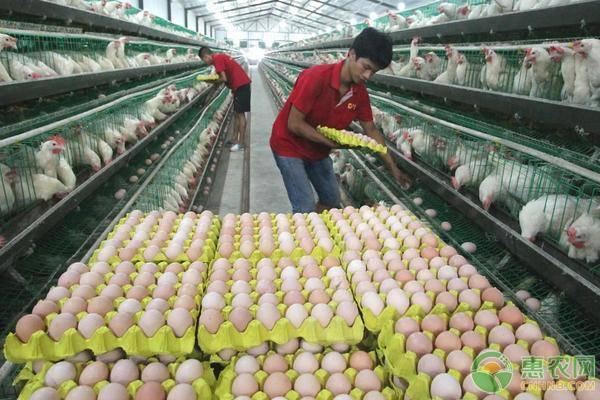秋季蛋鸡管理事项