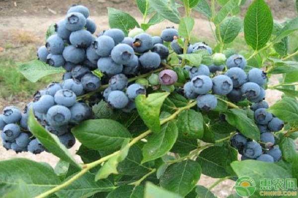 矮丛蓝莓的种植技术