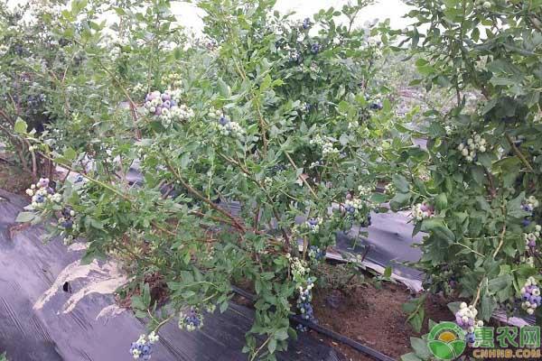 矮丛蓝莓的种植要点