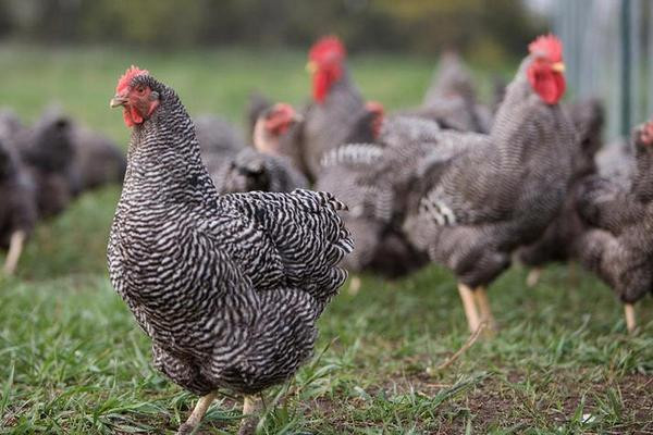 芦花鸡价格多少钱一斤?芦花鸡的养殖技巧介绍