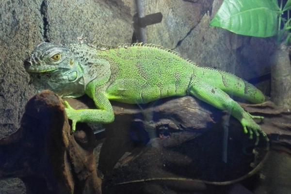 2斤绿鬣蜥价格多少?都有哪些饲养要点?