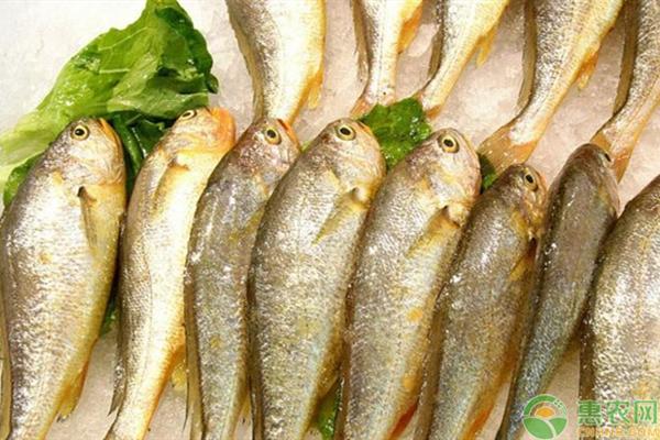 黄花鱼的人工养殖技巧