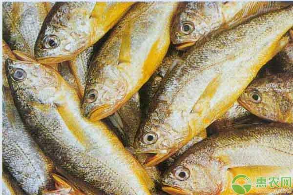 冰冻小黄鱼多少钱一斤