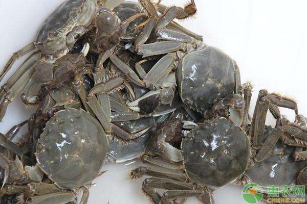 河蟹的高产养殖技巧