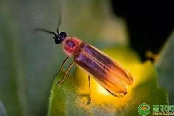 大萤火虫吃什么?萤火虫发光有哪些作用?