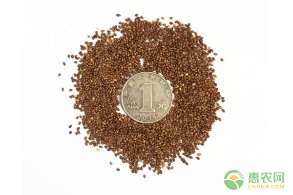 龙胆草种子价格