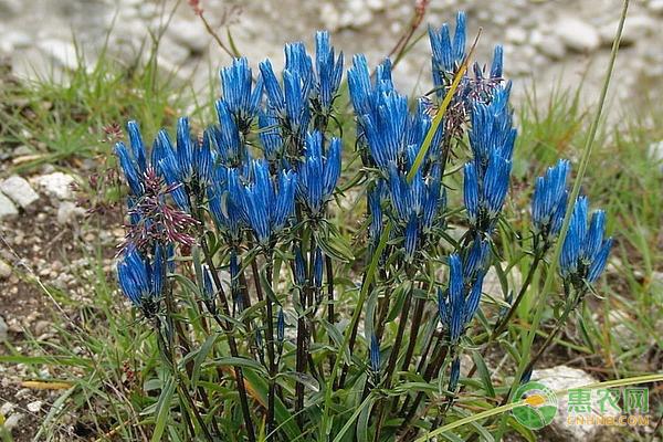 龙胆草种子的繁殖方法