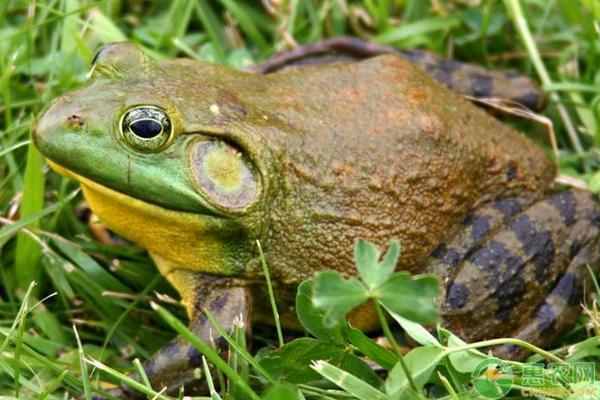 牛蛙的养殖技巧及前景
