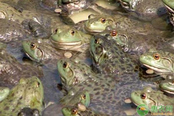 牛蛙的市场价格多少钱一斤