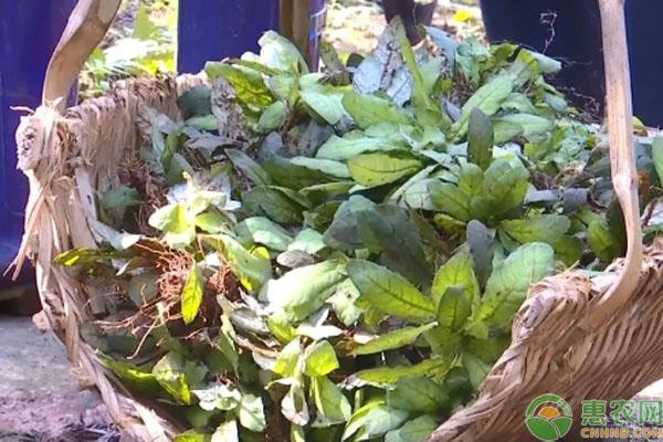 白背草种植