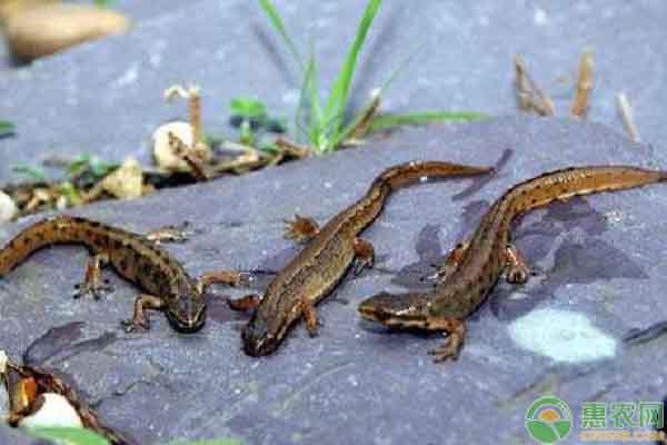 小蝾螈的饲养方法