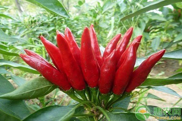 朝天椒的播种时间和种植方法