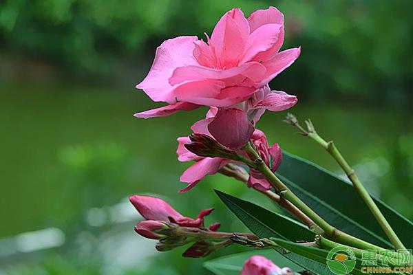 夹竹桃的养殖方法及养护技巧