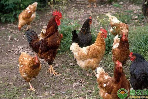 中草药养鸡