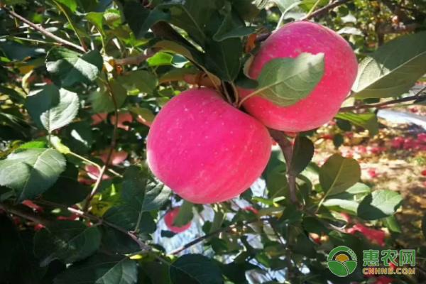 苹果成了宜川人的致富果