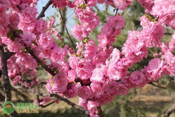榆叶梅的养殖方法及养护要点