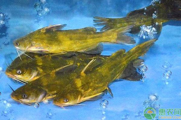 江黄鱼价格