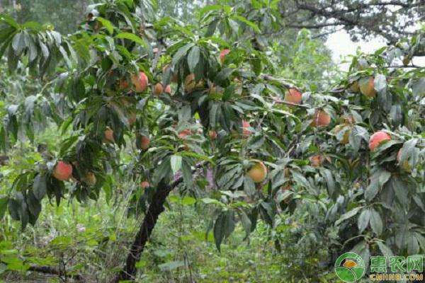 10月桃树管理要点