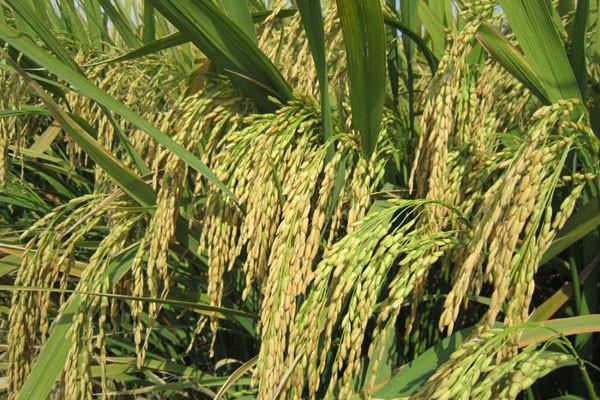 中国高产水稻品种排名