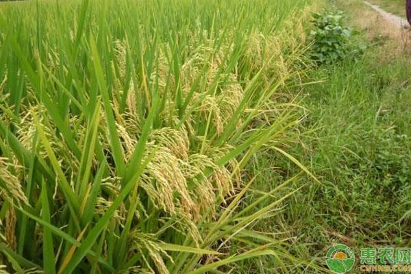 水稻高产品种