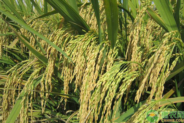 中国水稻高产品种