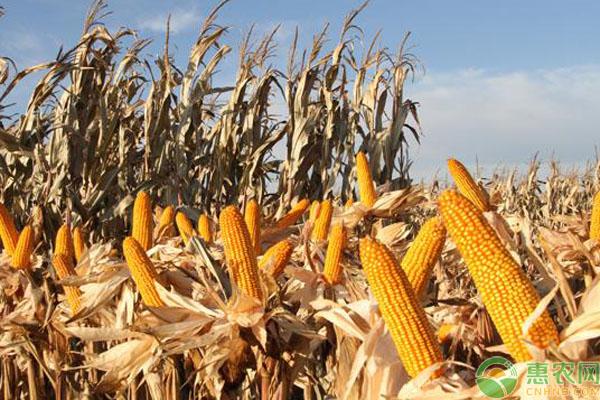 玉米密植品种有哪些