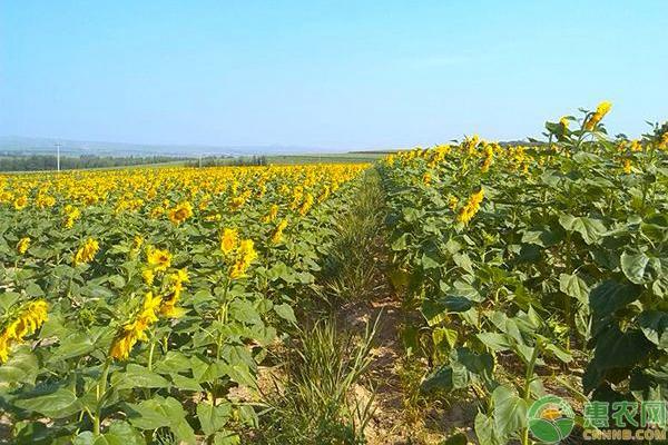 最大的四个葵花籽品种