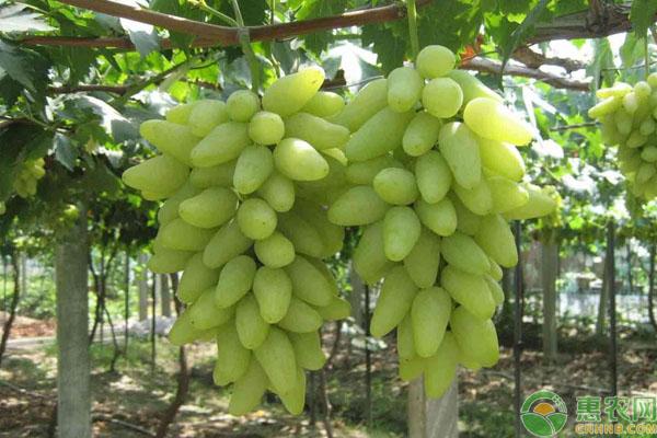 金手指葡萄种植前景