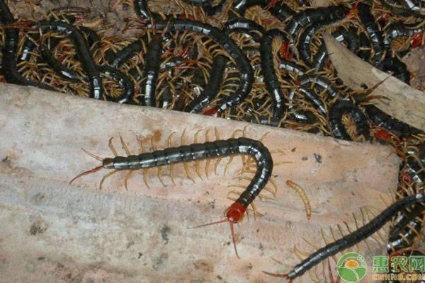 家里有蜈蚣怎么办?怎么消灭和预防?