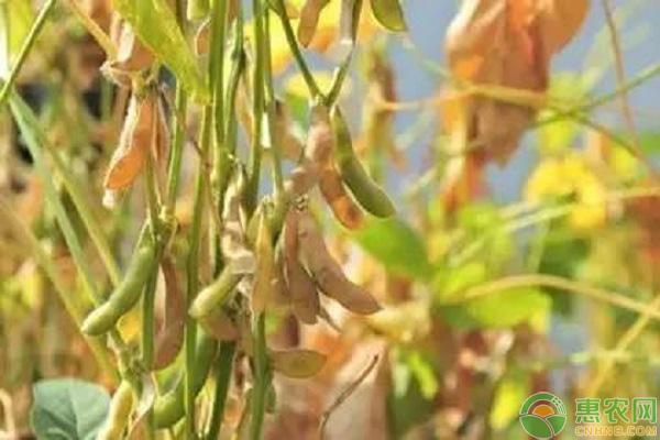 早熟大豆品种分类