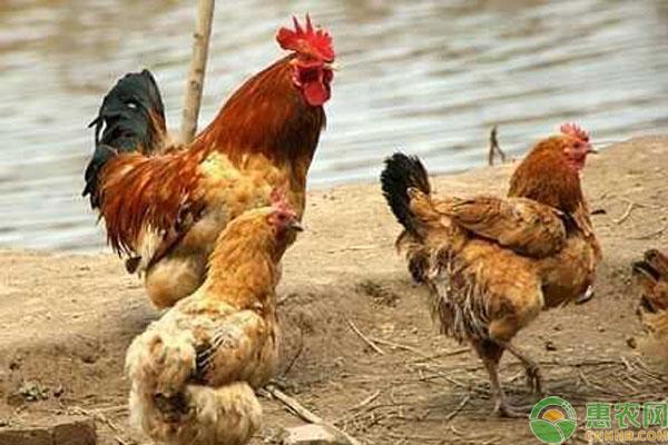 农村散养鸡品种