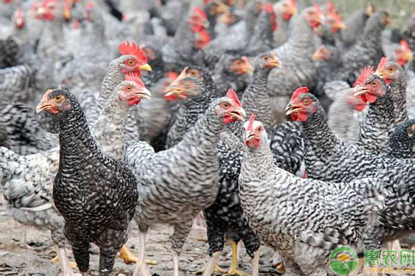 农村散养鸡种类