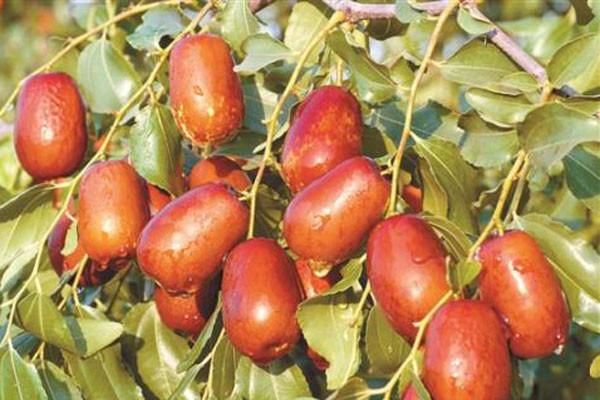 枣树有哪些品种?最全的枣树品种都在这了!