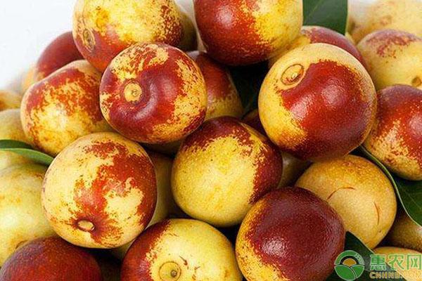 枣树有哪些品种