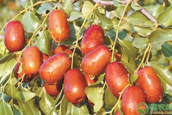 枣树品种介绍