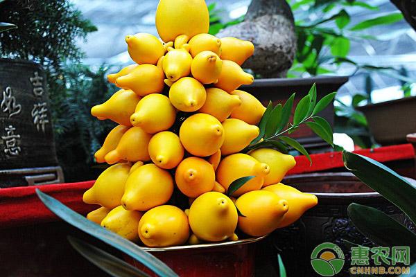 黄金果的高产种植技术