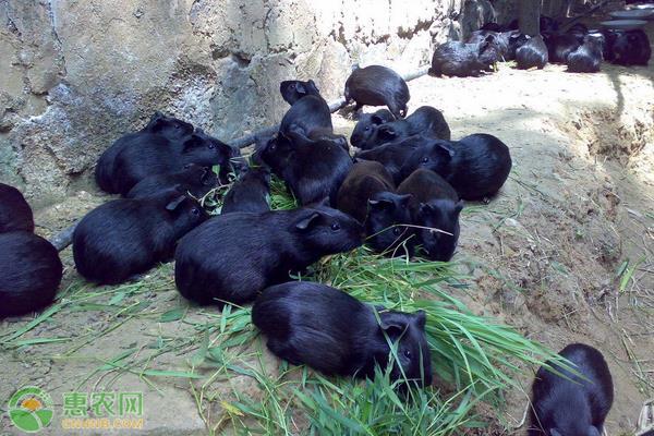 黑豚鼠的养殖方法