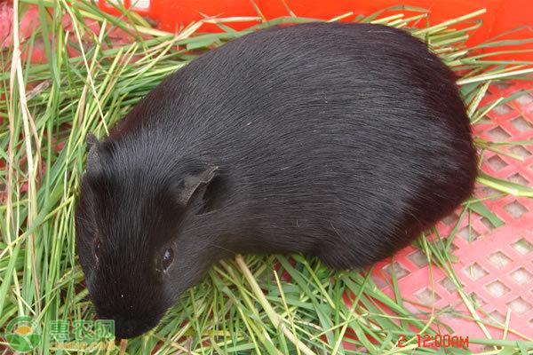 黑豚鼠的养殖技术