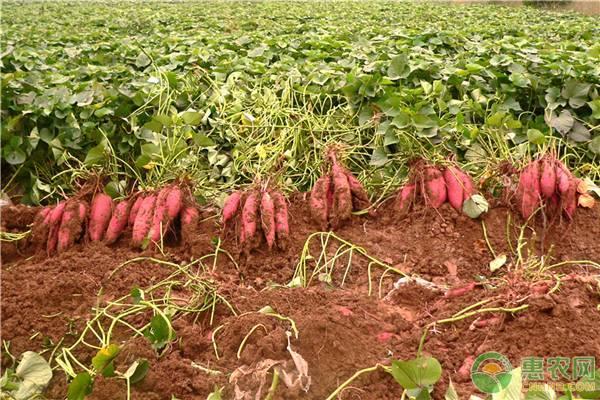 如何判断红薯是否能采摘?这四点成熟标志很关键!