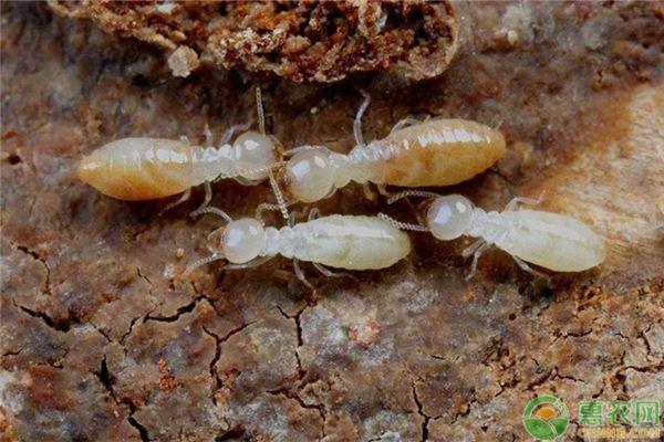 黑胸白蚁消灭方法