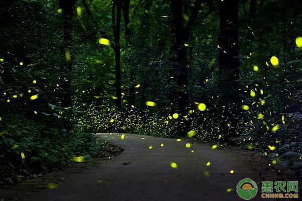 萤火虫捕食方法