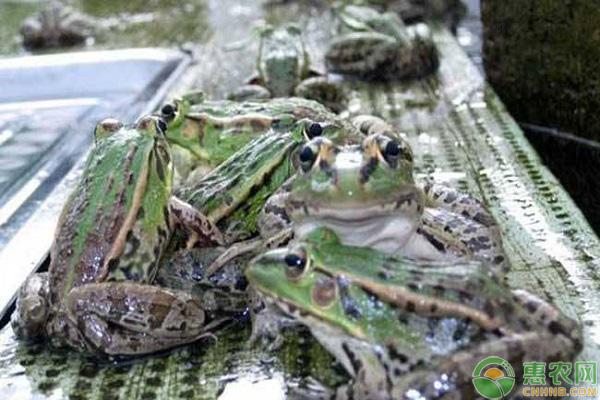 青蛙项目发展