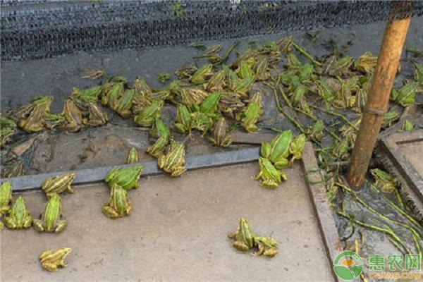 青蛙产业养殖