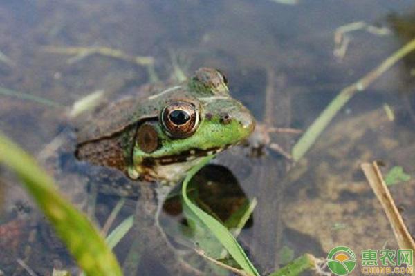 青蛙致富项目