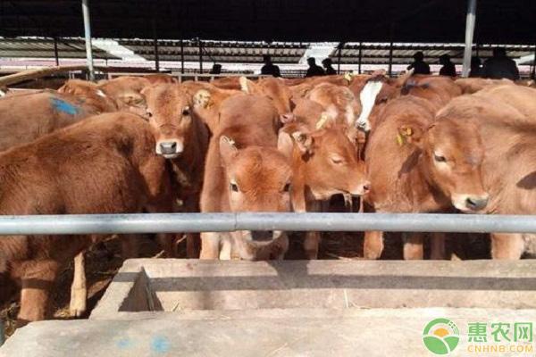 秋季养牛要点