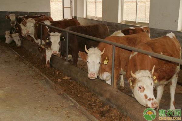 秋季养牛工作安排
